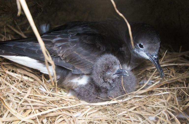 Shearwater Chick